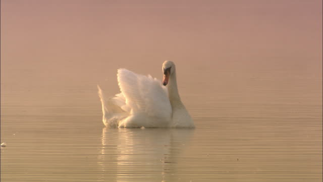 mute swan (cygnus olor) preens on lake at sunrise, richmond park, london, uk - cigno video stock e b–roll