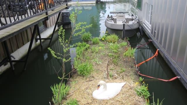 stockvideo's en b-roll-footage met a mute swan sat on its nest between floating houses in ijburg amsterdam netherlands - knobbelzwaan