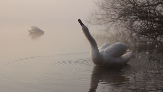 a mute swan shakes and stretches on a foggy lake - mute swan stock videos & royalty-free footage