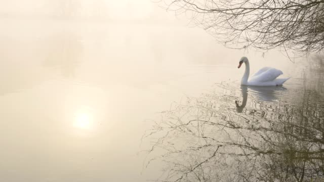 mute swan swim in river on misty morning, laudenbach, churfranken, franconia, bavaria, germany - mute swan stock videos & royalty-free footage