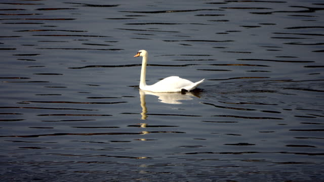 mute swan (cygnus olor) swimming - mute swan stock videos & royalty-free footage