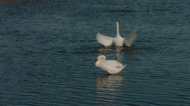 mute swan taking a bath - mute swan stock videos & royalty-free footage