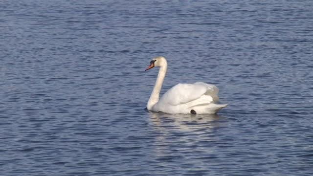 mute swan - mute swan stock videos & royalty-free footage