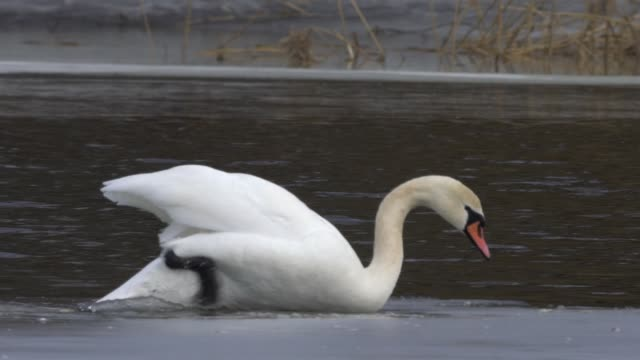 mute swan (cygnus olor) - mute swan stock videos & royalty-free footage