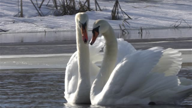 mute swan (cygnus olor) - cigno video stock e b–roll