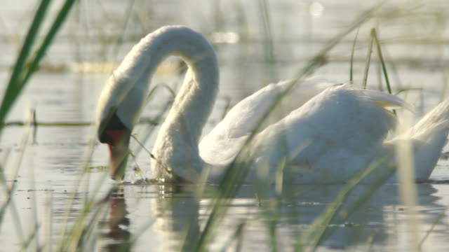 mute swan (cygnus olor) - cygnet stock videos & royalty-free footage