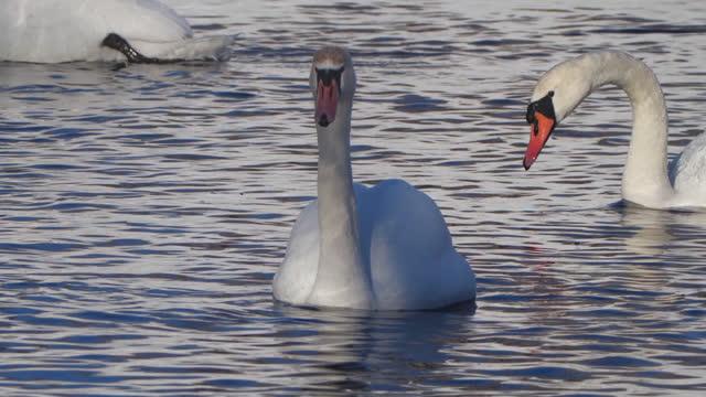 vídeos y material grabado en eventos de stock de cisne mudo (cygnus olor) lavado y natación, bielorrusia - área silvestre
