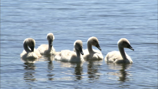 mute swan with chicks at shikotsu toya national park in hokkaido - mute swan stock videos & royalty-free footage