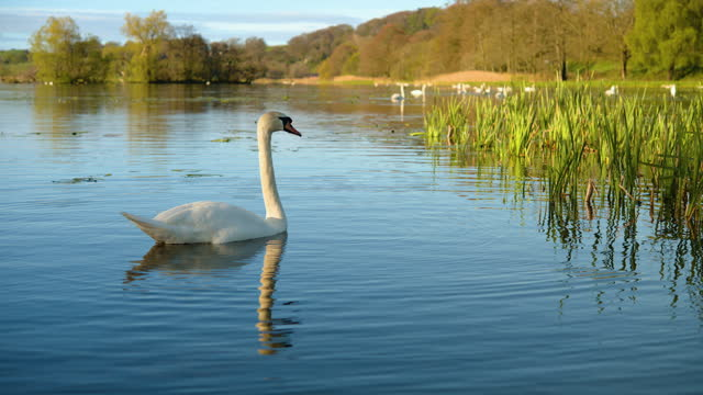 mute swans in a loch on a tranquil morning - water bird stock videos & royalty-free footage