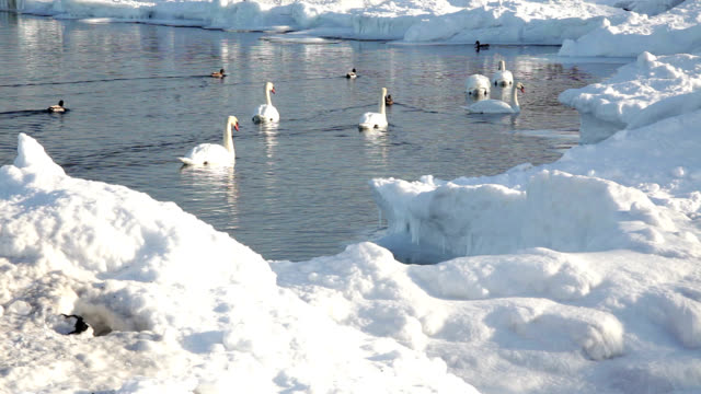mute swans in winter - mute swan stock videos & royalty-free footage