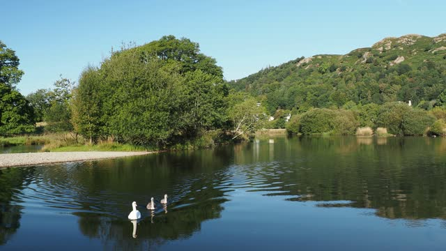 mute swans on the river brathay in ambleside, lake district, uk. - 白鳥の子点の映像素材/bロール