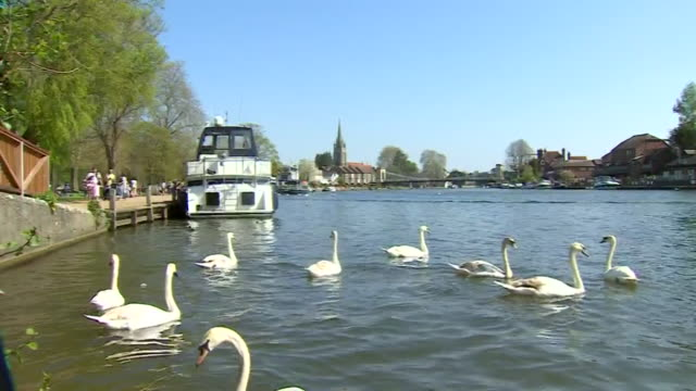 mute swans on the river thames in marlow buckinghamshire - sun stock videos & royalty-free footage