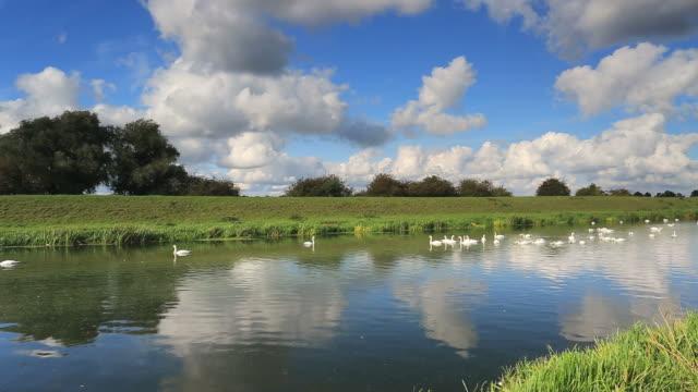 Mute Swans on the river Welland, Peakirk village,
