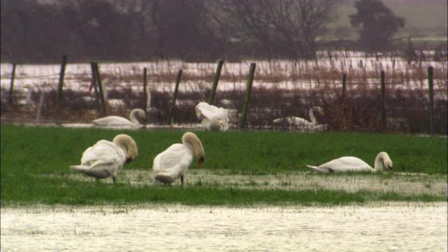 stockvideo's en b-roll-footage met mute swans (cygnus olor) preen on flooded fields, uk - knobbelzwaan