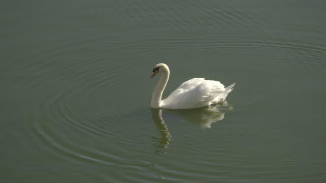 mute swans swim in a lake. - cigno reale video stock e b–roll