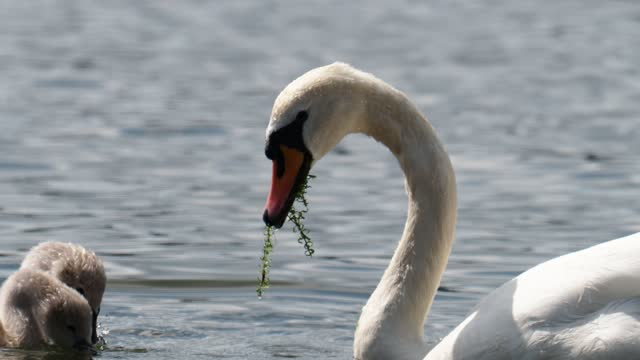 mute swans updening to gather weed to feed to their cygnets, lake windermere, lake district, uk. - 白鳥の子点の映像素材/bロール