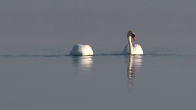 swans mute - cigno reale video stock e b–roll
