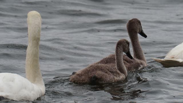 mute swans with cygnets in the rain on lake windermere, lake district, uk. - 白鳥の子点の映像素材/bロール