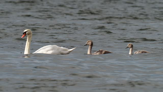 mute swans with cygnets on lake windermere, lake district, uk. - 白鳥の子点の映像素材/bロール