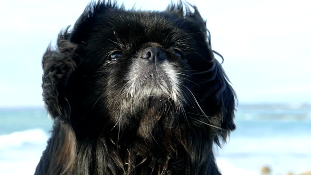 muzzle of a beautiful dog with long hair in a strong wind (slow motion) - dog hair stock videos and b-roll footage