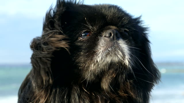 Muzzle of a beautiful long-haired dog in the wind
