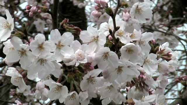my best shot of japanese cherry blossoms in spring - anamorphic stock videos & royalty-free footage