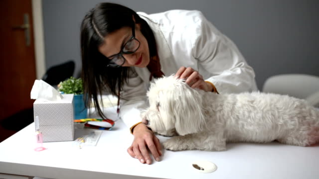 my favorite veterinarian - maltese dog stock videos and b-roll footage