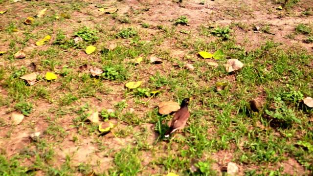Myna bird in garden
