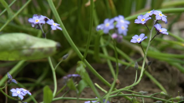 myosotis alpestris flowers - pistil stock videos & royalty-free footage