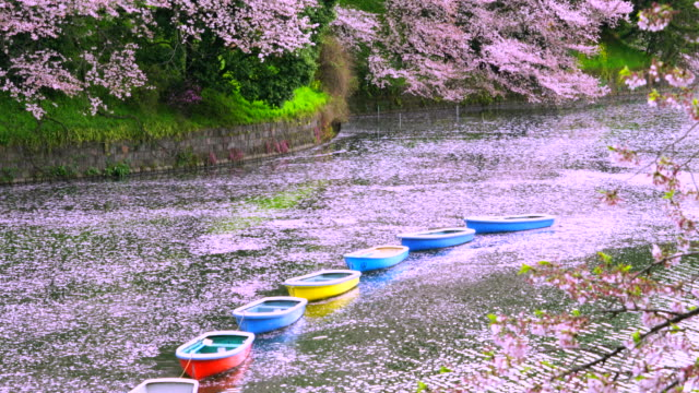 myriads of fallen cherry blossoms petals surround rows of floating boats at chidorigafuchi - 春点の映像素材/bロール