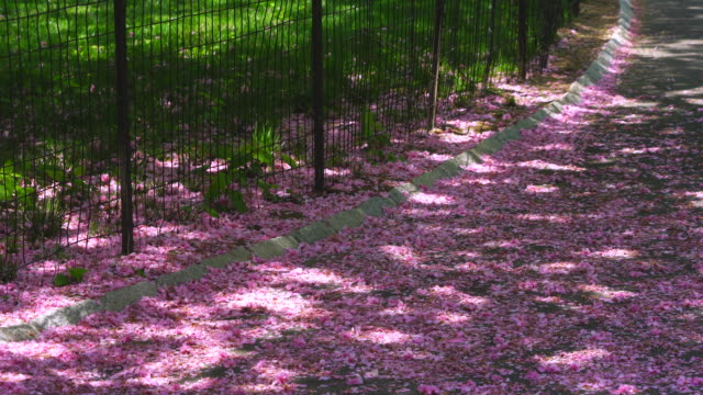 Myriads of falling Cherry petals cover the park footpath, which are illuminated by sunlight filtering through foliage at Central Park New York USA on May 09 2018.