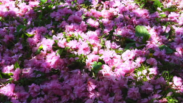 myriads of falling cherry petals on the meadow, which are shaking by wind and glow in the light and shadow at central park new york usa on may 08 2018. - 花びら点の映像素材/bロール
