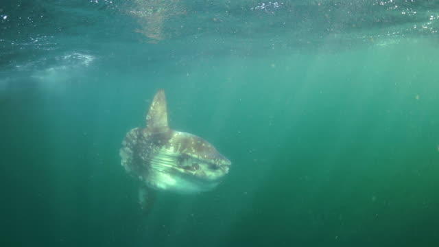 n sunfish swimming along the surface, Betty's Bay, South Africa.