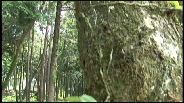 nago orchids bloom on a tree trunk. - shimane prefecture stock videos & royalty-free footage