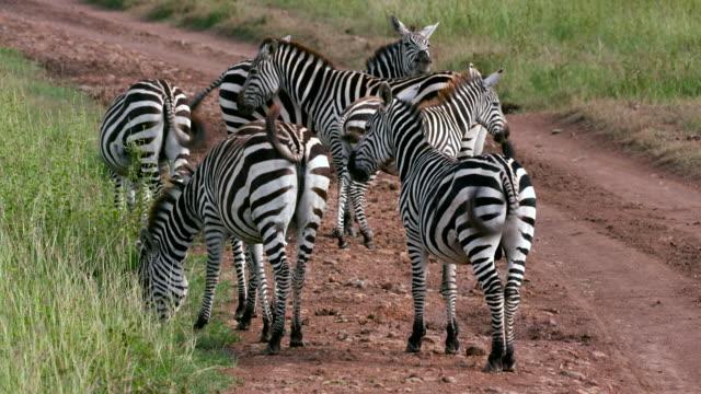 nairobi national park - steppenzebra stock-videos und b-roll-filmmaterial