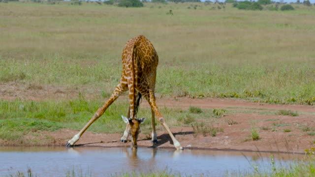 nairobi national park - 水場点の映像素材/bロール