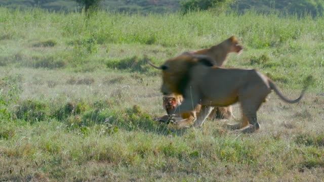 nairobi national park - kämpfen stock-videos und b-roll-filmmaterial