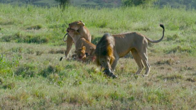 vídeos de stock, filmes e b-roll de nairobi national park - grupo pequeno de animais