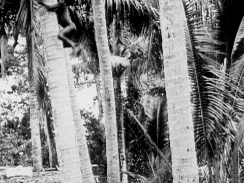 1934 B/W WS LA TU Naked indigenous boy climbing coconut tree, picking coconut and throwing it down / Solomon Islands