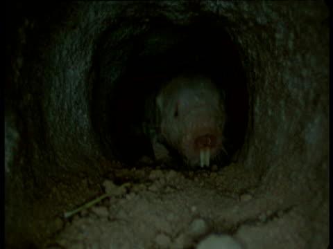 naked mole rat approaches camera through tunnel, kenya - enge stock-videos und b-roll-filmmaterial