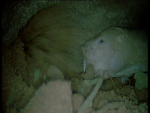 naked mole rats dig tunnel, one showers earth in another's face, africa - 掘る点の映像素材/bロール