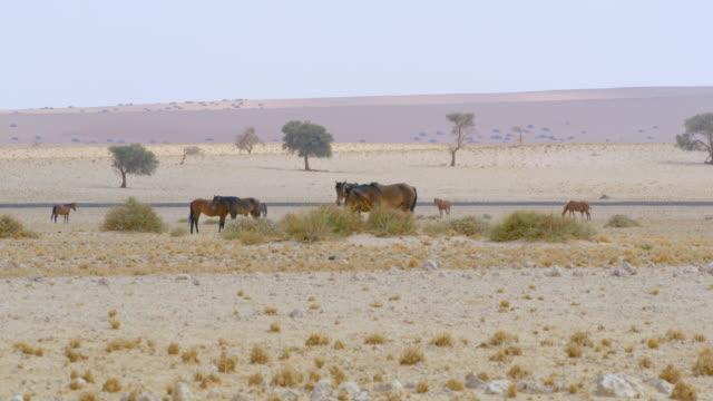 vídeos y material grabado en eventos de stock de ws namibia desert horses,namibia,africa - grupo mediano de animales