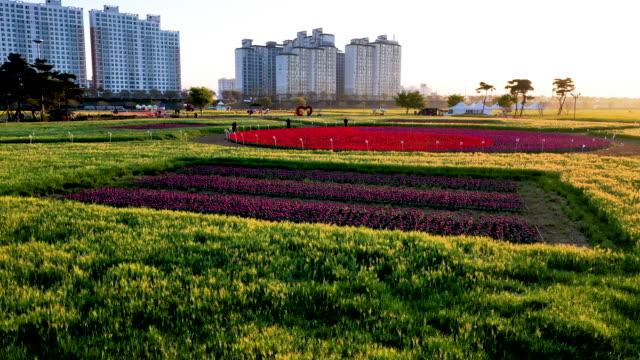 namji canola flower bed, changnyeonggun, gyeongsangnam-do province, south korea - pinaceae stock videos & royalty-free footage