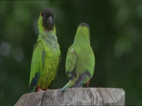 stockvideo's en b-roll-footage met a nandat conure vocalizes and preens its feathers. - plant attribute