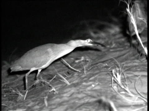 nankeen night heron (nycticorax caledonicus) stalks prey, crab island, australia - stealth stock videos and b-roll footage