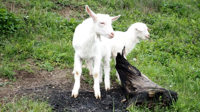 Nanny goats chewing and twitching in the garden