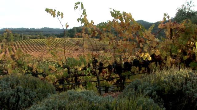 Napa vineyard in the sunset