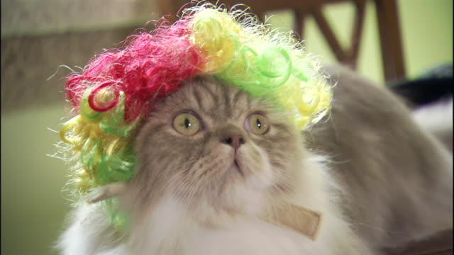 a napoleon cat wears a clown wig and looks around. - clothing stock videos & royalty-free footage