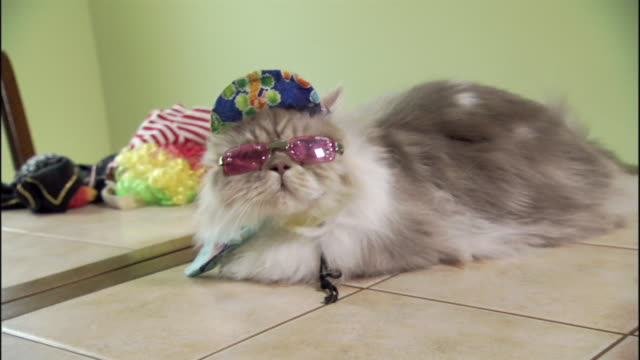 vidéos et rushes de a napoleon cat wears a flowery hat, a scarf and sunglasses. - humour