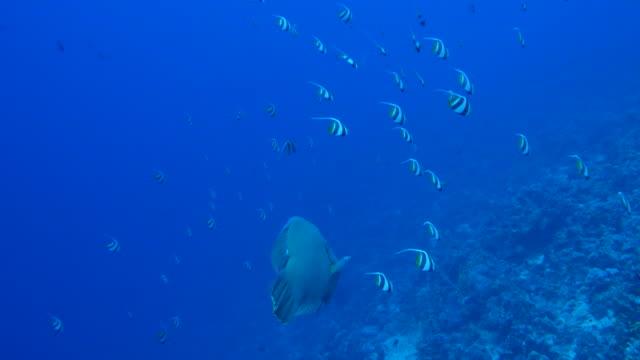 napoleon fish - 紅海点の映像素材/bロール